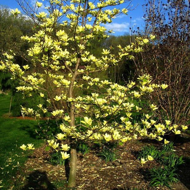 magnolia ta yellow river magnolia ta yellow river. Black Bedroom Furniture Sets. Home Design Ideas