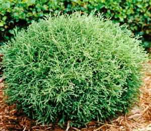 Thuja MR BOWLING BALL