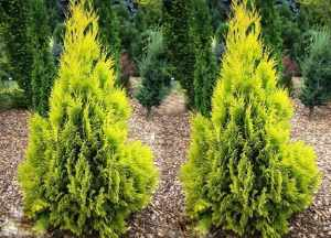 Thuja 4EVER GOLD