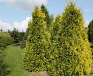 Thuja GOLDEN BRABANT w donicy