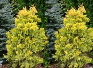 Thuja IRISH GOLD