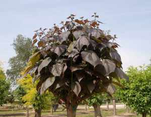 Catalpa PURPUREA