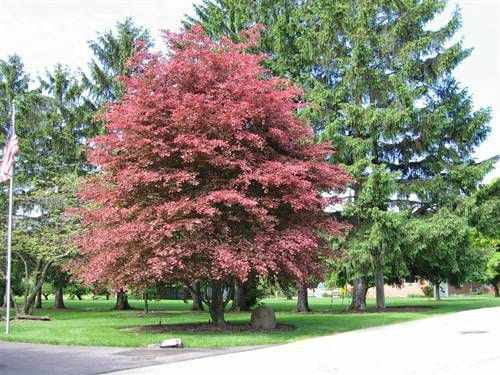 beech tree coloring pages - photo#32