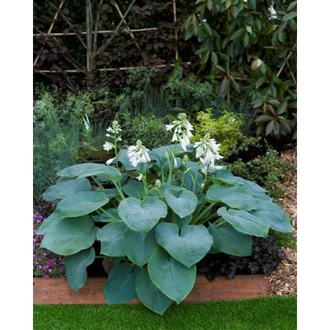 Funkia - Hosta BRESSINGHAM BLUE