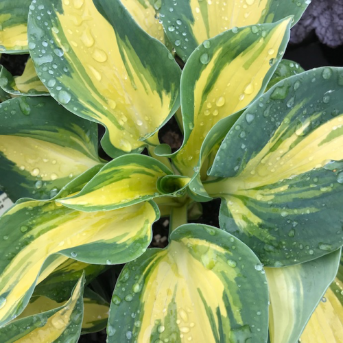 Funkia - Hosta GREAT EXPECTATIONS 4-letnia