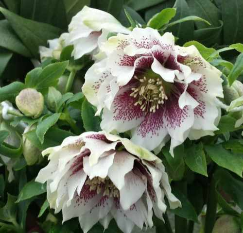 helleborus-double-white-spotted1.jpg
