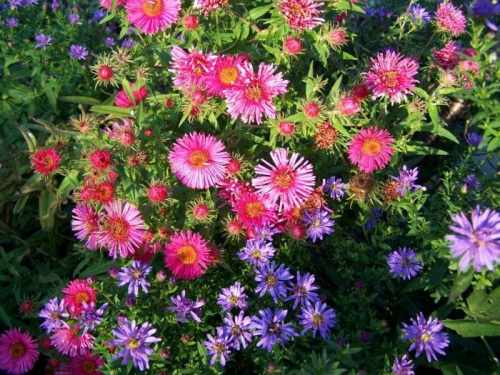 Aster NOWOBELGIJSKI MAGIC PINK