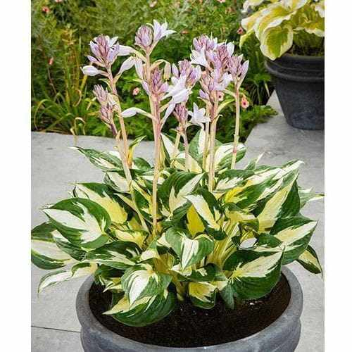 Funkia - Hosta ETERNAL FLAME