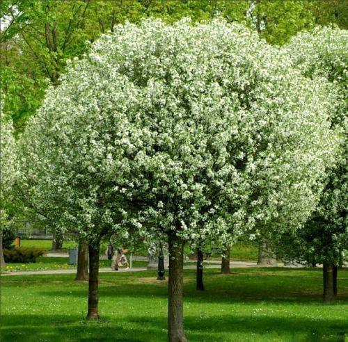 Wiśnia Kulista Umbraculifera