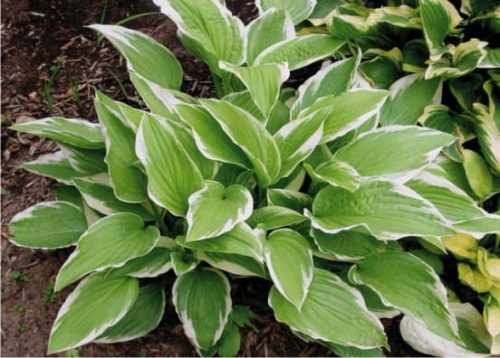 Funkia - Hosta SHOGUN