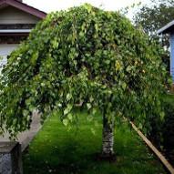 Drzewka Ozdobne Liściaste