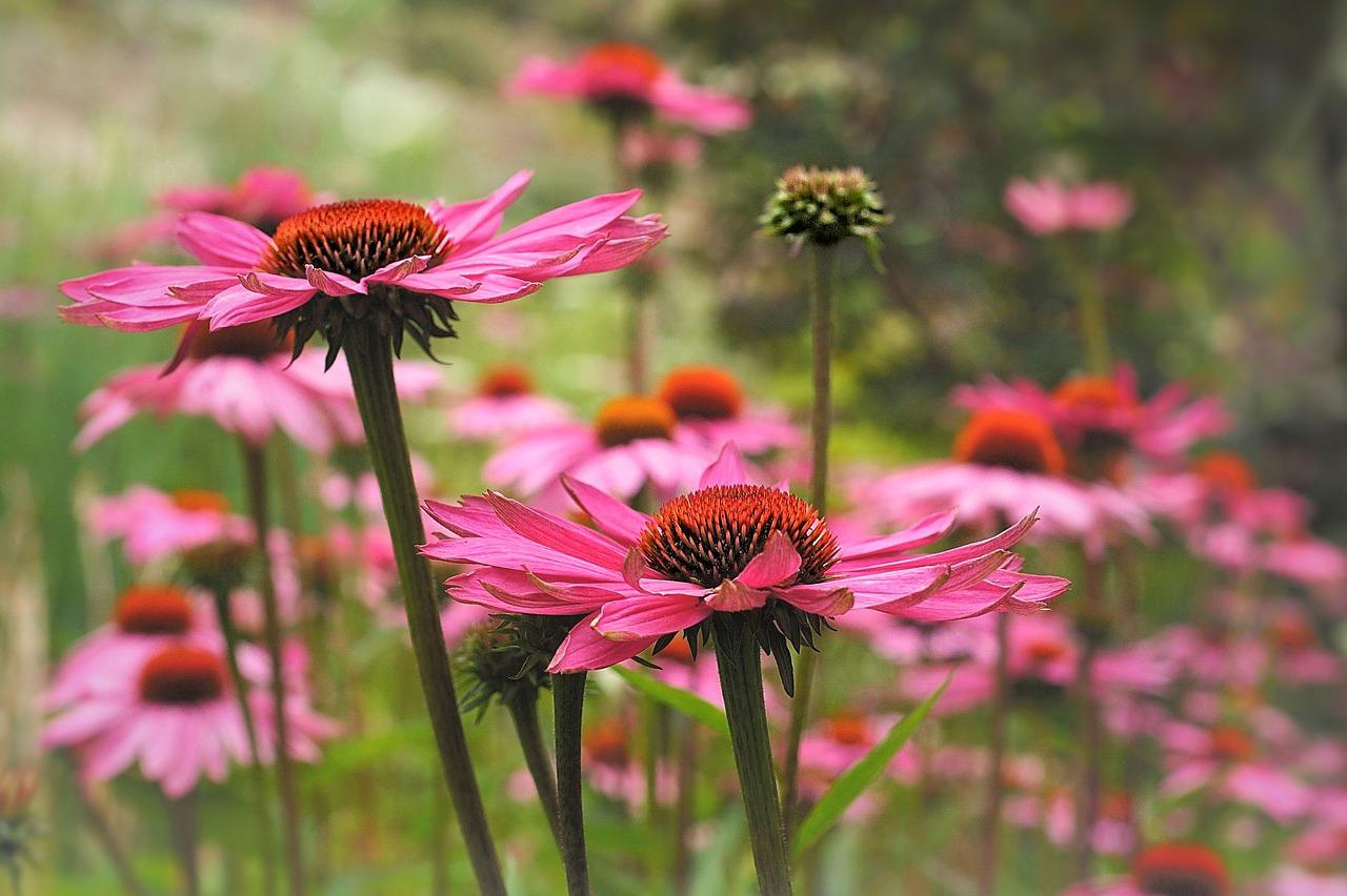Kwiaty Wieloletnie Do Ogrodu Bez Wykopywania Blog Internetowy Sklep Ogrodniczy Podkarpackie Sady